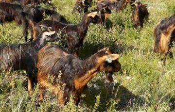 faq-leiteparakefir-rebanho_cabras